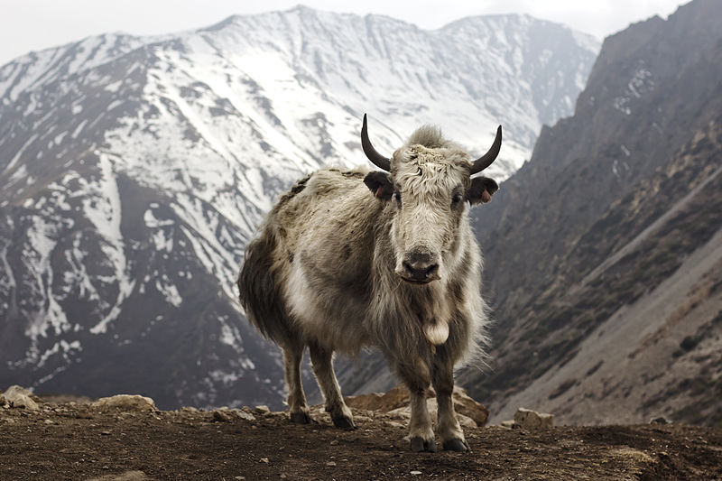 Yak at Letdar on the Annapurna Circuit in the Annapurna mountain range of central Nepal. Source: Wikipedia https://en.wikipedia.org/wiki/Yak